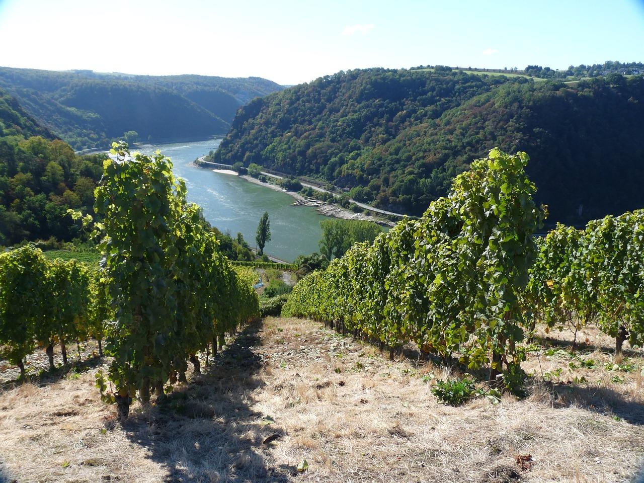 Weinbau in Rheingau