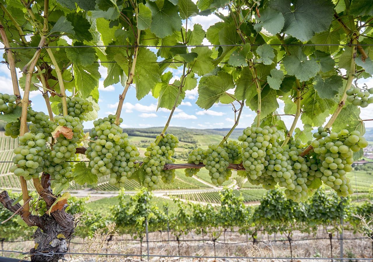 Weinbau in der Region Franken
